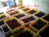 郸城县五黑一绿蛋鸡苗菜市场批发价格