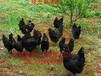 岳麓纯种绿壳蛋鸡苗哪里可以买到