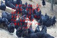 松滋纯种绿壳蛋鸡苗菜市场批发价格