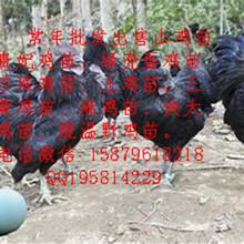韶山纯种绿壳蛋鸡苗菜市场批发价格