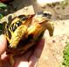 出售辐射陆龟5-7厘米1600元10-15厘米2500元