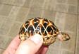 低价出售印度星龟5-6厘米250元10-15厘米550元