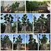 精工造型小叶榕桩头&培养4年叶片全冠榕树桩头三角梅罗汉松价格