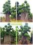 2018年度建春园林造型小叶榕✔8米提根大桩✰同安红景观三角梅及罗汉松价格图片