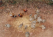 野鸡出售山上野鸡100一只