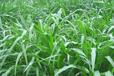 墨西哥玉米报价/江苏墨西哥玉米报价/墨西哥玉米种籽价格