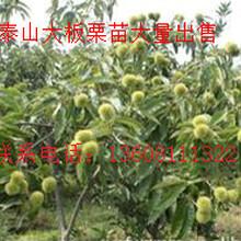 安顺优质良种嫁接猕猴桃,铜仁猕猴桃苗圃嫁接基地