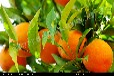 贵州安顺橘子苗价格,贵州安顺橙子苗产量,贵州安顺橙子苗批发,贵州安顺橙子苗产量,贵州安顺橙子苗批发