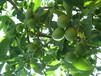 云南核桃苗,云南核桃树冬季管理技术冬天怎么管理核桃树苗