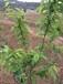 脆红李是李中珍品,李子苗特征,脆红李子苗价格,脆红李种植方法