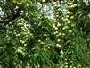 四川绵阳脆红李子苗,晚熟脆红李子苗种植技术,四川脆红李子苗价格