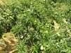 贵州青脆李子苗,贵州蜂糖李子苗介绍,贵州脆红李子苗价格