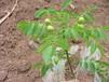 云南核桃苗的产量云南嫁接核桃苗种植核桃苗的投资成本核桃树的寿命