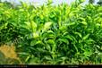 陕西橙子苗的种植方法陕西橙子苗种植技术嫁接橙子苗