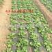 供应非洲冰草种子种苗南非冰菜种子种苗水晶冰菜种苗寿光绿帆种业