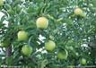 陜西早熟藤木蘋果產地價格