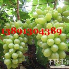 陜西大棚青提葡萄產地上市價格圖片