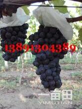 陜西大荔夏黑葡萄產地,夏黑葡萄產地上市行情圖片