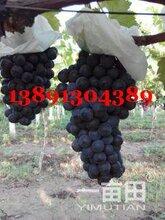 陕西大荔夏黑葡萄产地,夏黑葡萄产地上市行情图片