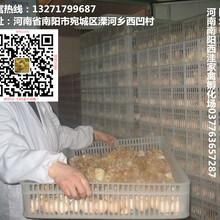 南阳鸡苗孵化,土鸡苗孵化,肉杂鸡苗,鹅苗孵化,鸭苗孵化图片