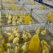 河南鵝苗圖片,鵝苗品種,大鵝鵝苗,三花鵝苗,大種鵝苗基地