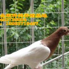 哪里卖观赏鸽?哪里有卖观赏鸽的?