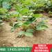 大棚脱毒章姬草莓苗多少钱一棵章姬草莓苗价格0.45元一棵