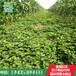 草莓苗草莓苗批发价格草莓苗哪里便宜草莓苗幼苗