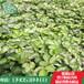 全明星草莓苗纯种全明星草莓苗批发价格全明星草莓苗供应基地