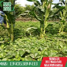2017年妙香草莓秧苗多少钱一棵哪里便宜妙香草莓苗批发价格