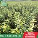 暖棚红油香椿苗价格暖棚香椿苗基地暖棚香椿苗批发