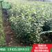 苹果苗种植基地苹果苗哪里有苹果苗今年供应价格