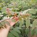 红椿树苗育苗基地香椿芽苗批发价格紫叶香椿苗基地