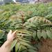香椿苗红油香椿苗大棚香椿苗批发价格大棚红椿树苗