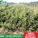 果树山楂苗基地山楂苗基地批发价格山楂树苗哪里便宜