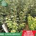 山楂苗批发供应山楂苗哪里便宜山楂苗价格基地