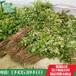花椒苗价格花椒苗扶贫合作单位花椒苗大量出售