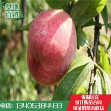 早熟桃树苗品种:春雪突围新川中岛永莲蜜桃树苗批发基地