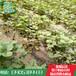 全明星草莓苗繁育价格纯种全明星草莓苗多少钱一棵哪有卖