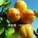 红丰杏树苗红丰杏树苗市场价格红丰杏树苗批发价格