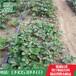 山东红颜草莓苗批发基地红颜草莓苗市场价格