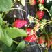 奶油草莓苗供應價格豐香草莓苗報價多少