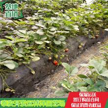 甜宝草莓苗林泽苗木甜心一号草莓苗新批发价格图片