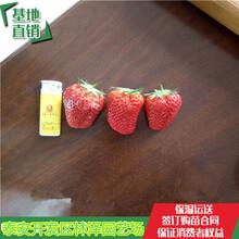 中山天仙醉草莓苗价格艳丽草莓苗亩产多少斤图片