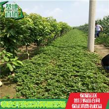 30公分高草莓苗宁玉草莓苗艳丽草莓苗单价多少图片