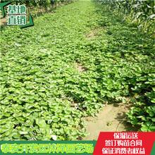 脱毒草莓苗桃熏草莓苗甜宝草莓苗多少钱一棵图片
