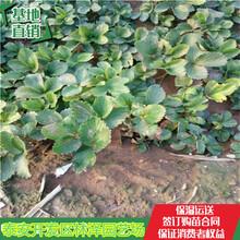 中山白雪公主草莓苗价格妙香草莓苗单棵产量多少图片