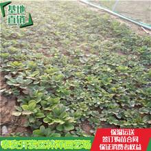 甜宝草莓苗林泽苗木宁玉草莓苗上市价格图片