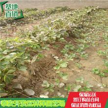 汕尾甜心一号草莓苗价格妙香草莓苗单棵产量多少图片