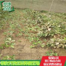 潮州桃熏草莓苗价格妙香草莓苗多少钱一棵图片